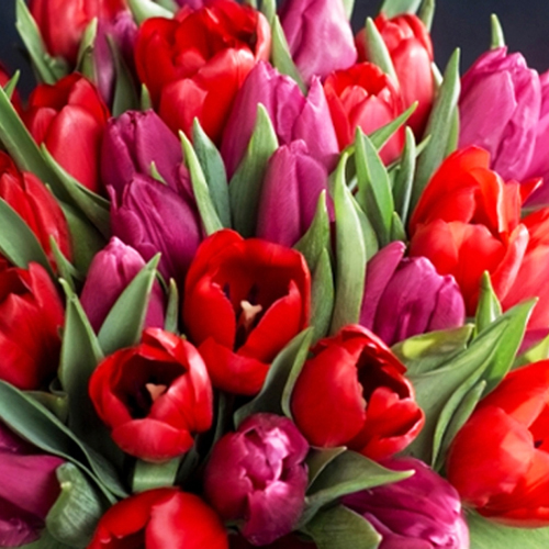 bouquet tulipes rouges et mauves
