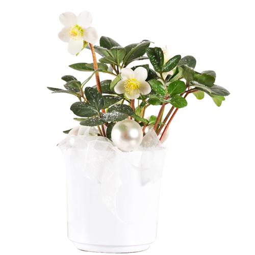 Livrer une plante hellebore ou rose de no l plante for Plante de noel