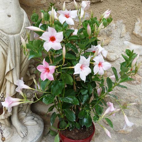 F ites livrer une composition de plantes pour la f te des for Livrer une rose