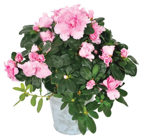 Livraison azal e rose entrefleuristes for Livraison fleurs paypal