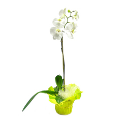 Orchidée blanche (simple branche)