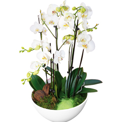 Coupe d'orchid�es blanches qualit� extra