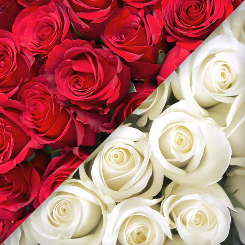 Roses Rouges et Roses Blanches